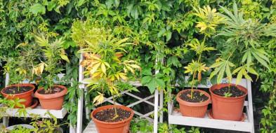 Plantację marihuany miała w ogródku...-23508