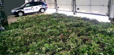 Plantacja marihuany na wielką skalę zlikwidowana-23514